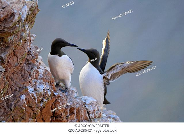 Common Guillemots, pair, Heligoland, Schleswig-Holstein, Germany / Uria aalge / flapping wings