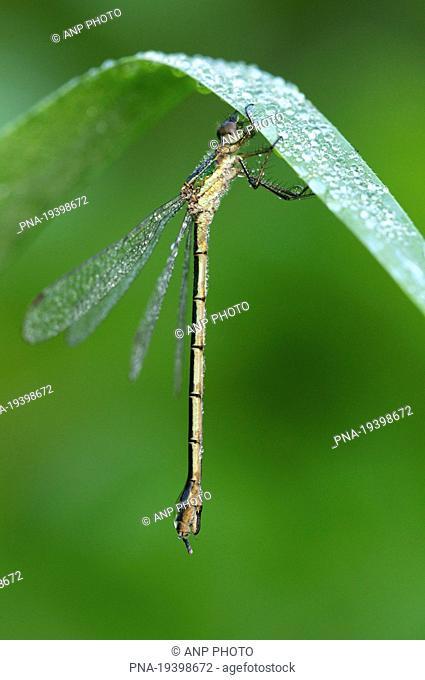 Emerald Damselfly Lestes sponsa - Biebrza National Park, Biebrzanski Park Narodowy, Narew river, Podlaskie, Podlachia, Poland, Europe