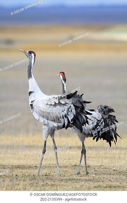 Eurasian / Common Crane (Grus grus) pair. Gallocanta lagoon. Zaragoza province. Aragon. Spain
