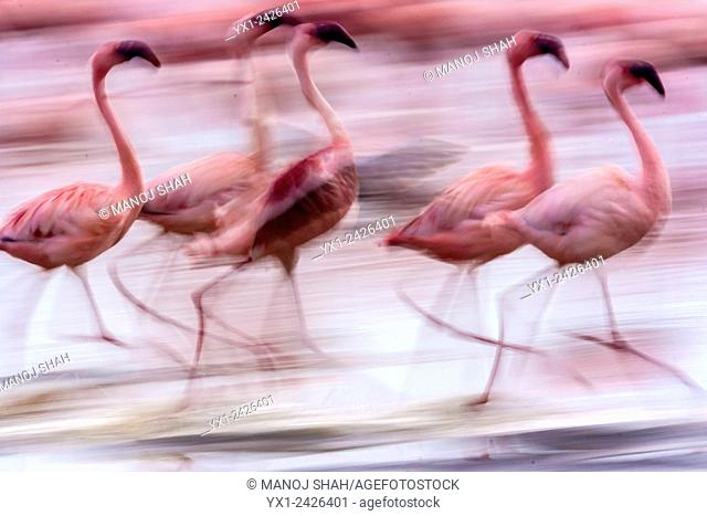 Flamingos walking on the Lake Nakuru shore. Kenya