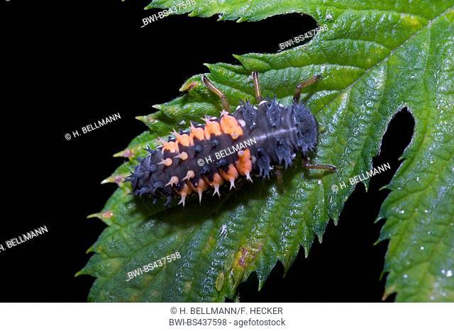 multicoloured Asian beetle (Harmonia axyridis), larva, Germany