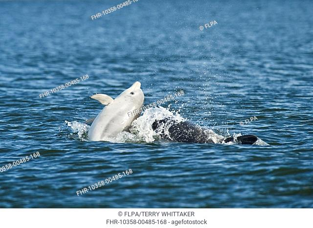 Bottlenose Dolphin Tursiops truncatus adult female with one year old calf, breaching, Chanonry Point, Black Isle, Moray Firth, Scotland