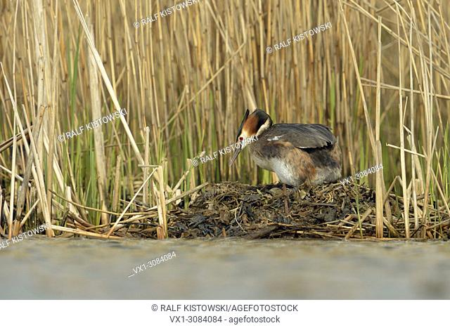 Breeding Great Crested Grebe (Podiceps cristatus) stands on its nest, turning eggs, natural surrounding, wildlife, Europe
