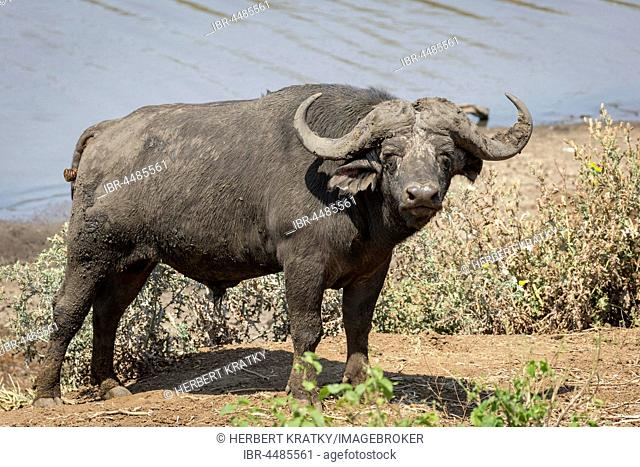 African buffalo (Syncerus caffer), Kruger National Park, Republic of South Africa