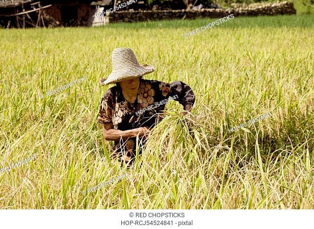 Farmer working in a rice paddy field, Xingping, Yangshuo, Guangxi Province, China