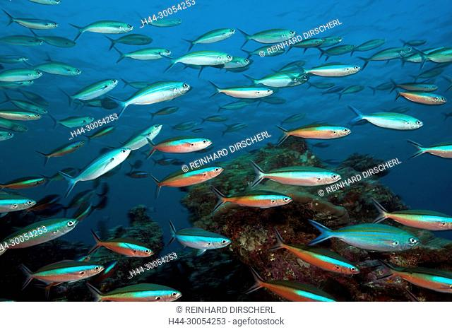 Shoal of Neon Fusilier over Coral Reef, Pterocaesio tile, South Male Atoll, Maldives
