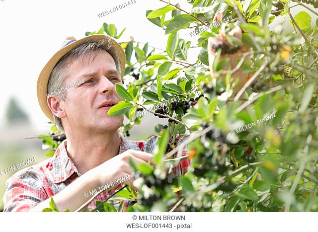 Farmer on organic farm examining a bush