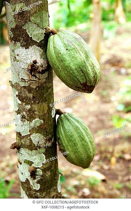 Unripe cocoa pod,Theobroma cacao, the Fruit of Gods, Mampong, Ghana