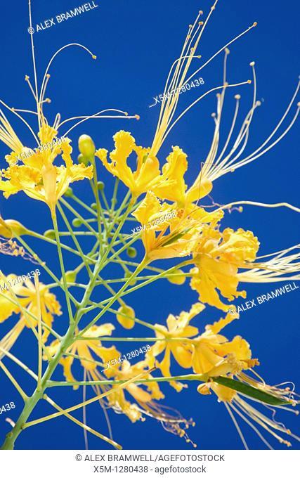 Yellow flowering cultivar of the bird of paradise or poinciana, Caesalpinia pulcherrima