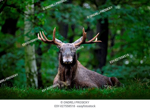 Moose, North America, or Eurasian elk, Eurasia, Alces alces in t