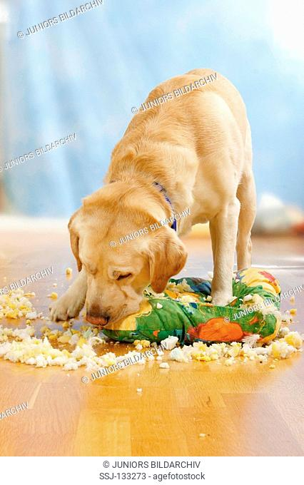 bad habit : Labrador Retriefer puppy tearing up a pillow restrictions: Tierratgeber-Bücher / animal guidebooks