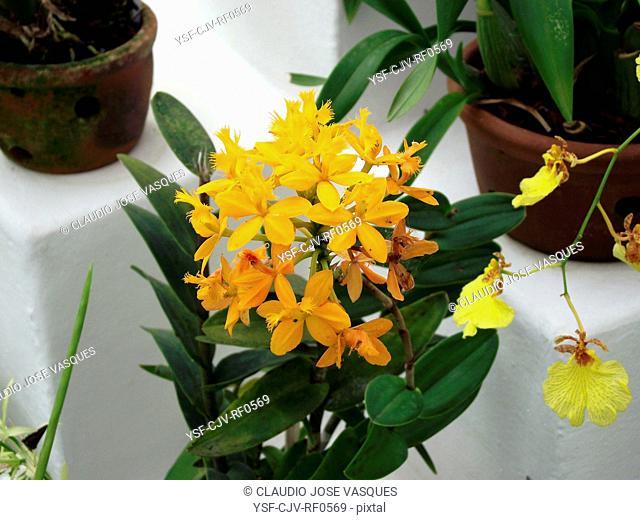 Flowers, orchid, orchids, Epidendrum, Botanical Garden, City, Rio de Janeiro, Brazil