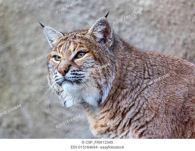 American Bobcat