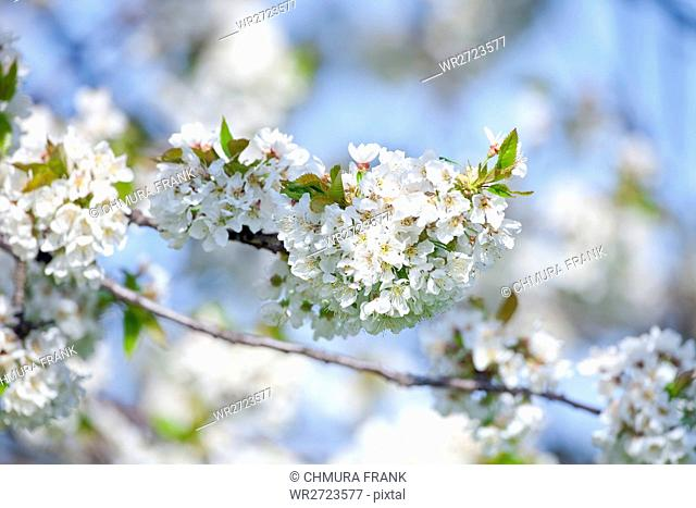 beautiful, beauty, bloom, blooming, blossom, blossoming, branch, cherry, country, floral, flower, nature, outdoor, outdoors, outside, plant, season, spring