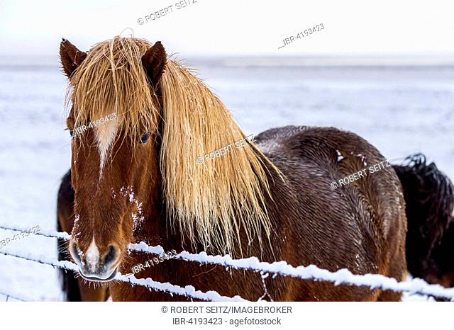 Iceland pony in wintery landscape, Laugarvatn, Iceland