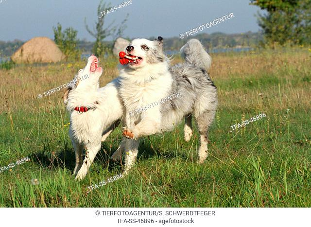 2 playing Australian Shepherds