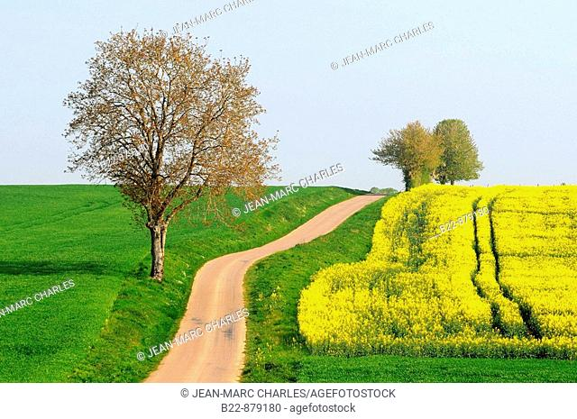 Colza fields, Nievre, Burgundy, France