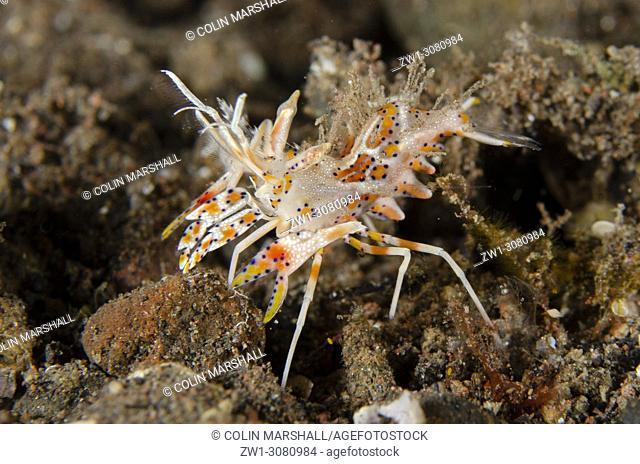 Colorful Tiger Shrimp (Phyllognathia ceratophthalmus, Hymenoceridae family), Melasti dive site, Seraya, near Tulamben, east Bali, Indonesia