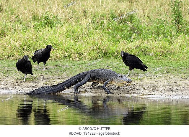 American Alligator and Black Vultures Myakka River State Park Florida USA Alligator mississippiensis Coragyps atratus