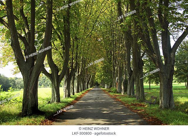 Chestnut alley to the cemetery, Herschbach, Rhineland-Palatinate, Germany