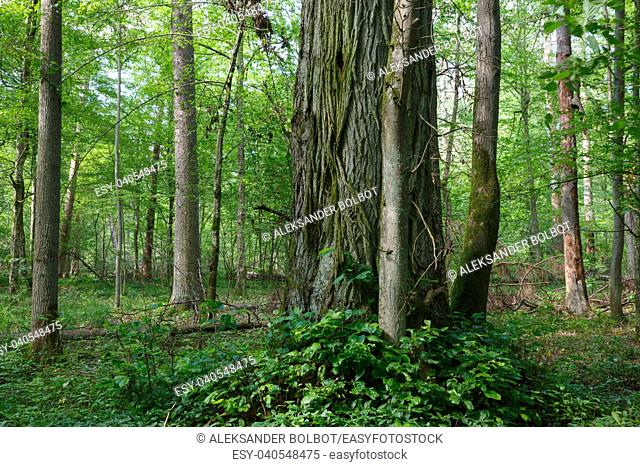 Natural mixed stands of Bialowieza Forest with old linden tree in foreground,Bialowieza Forest,Poland,Europe