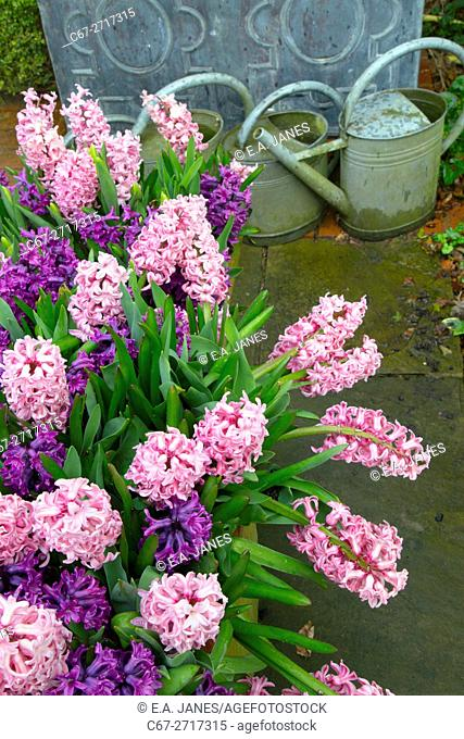 Hyacinths in flower growing in container pots Spring Norfolk