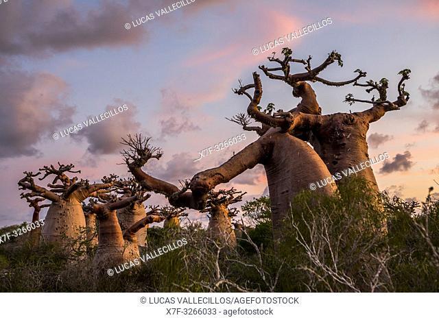 Baobabs near Andavadoaka, western Madagascar