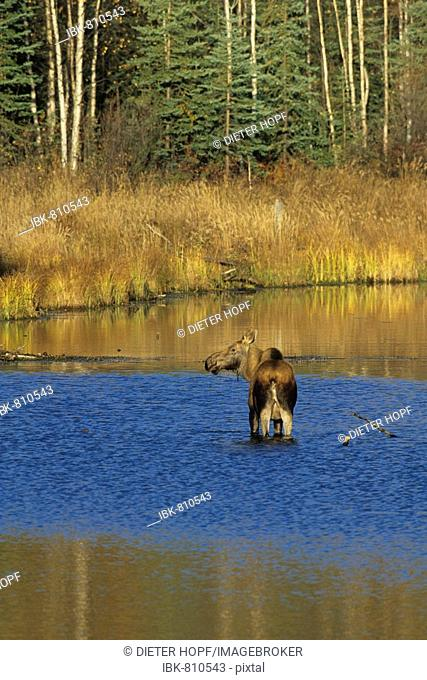 Moose or Elk cow (Alces alces) standing in the shallow water of a pond, Alaska, USA