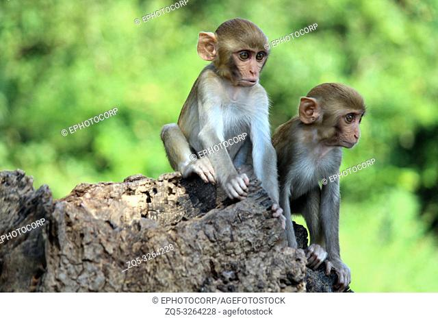 Two young Monkeys sitting on rock, Macaca mulatta-sp, Hyderabad, Telangana, India