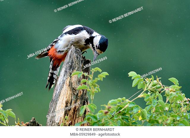 Trunk, spotted woodpecker, Dendrocopos major