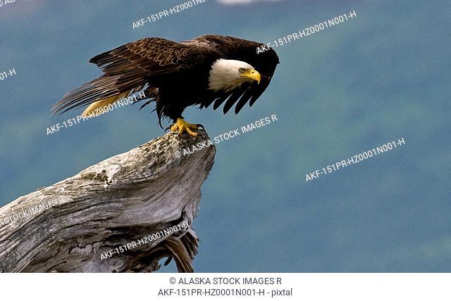 Bald Eagle prepares to take off in Kukak Bay, Katmai National Park, Southwest Alaska, Summer