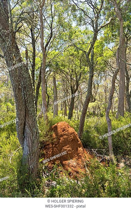 Australia, New South Wales, Ebor, termite hill in the forest
