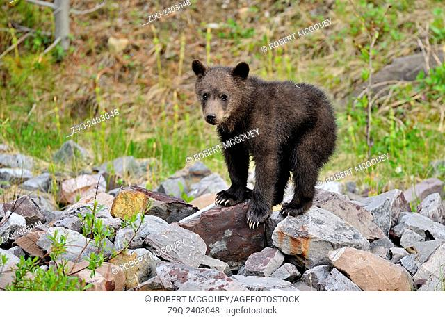 A baby grizzly bear balances on a pile of rocks