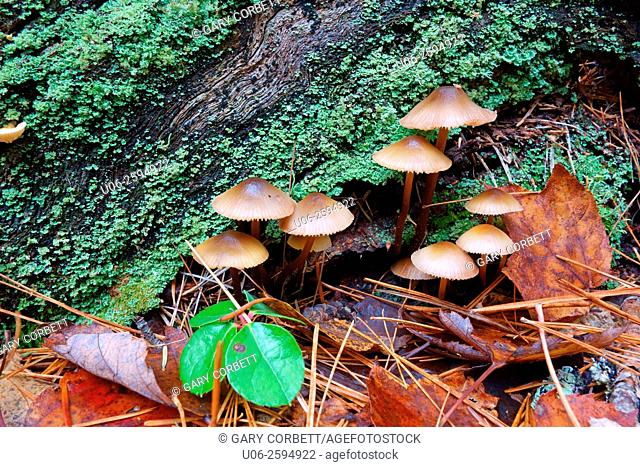 Fairy ring mushrooms growing in a forest beside a log
