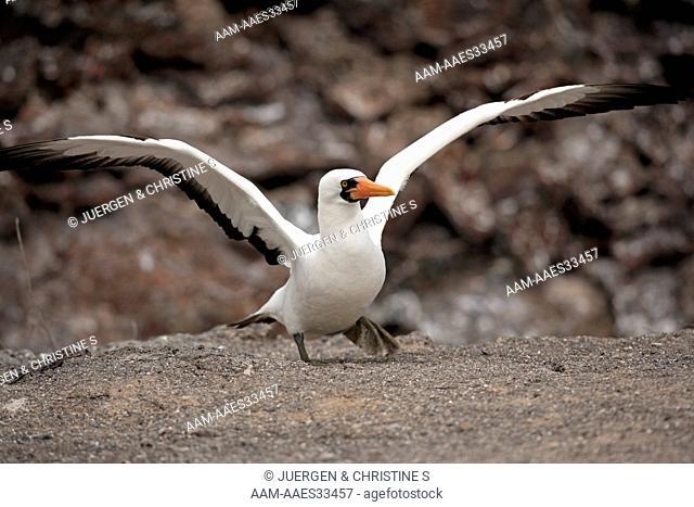 Nazca Booby adult spreading wings (Sula granti) Galapagos Islands, Ecuador
