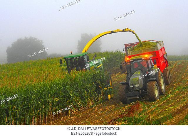 Harvesting corn field for winter animals feeding, foggy morning by Champgenéteux, Mayenne, Pays de la Loire, France