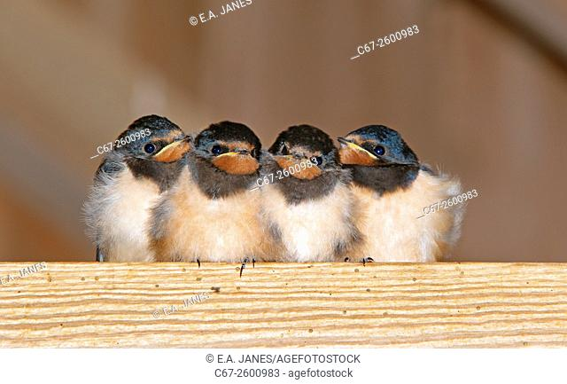 Swallows Hirundo rustica Young waiting for a feed