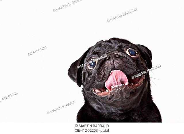 Close up of dog's panting face