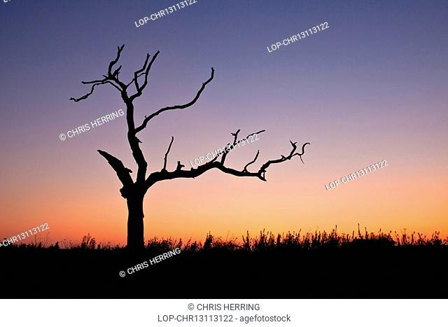 England, Norfolk, Thurne. A dead tree at sunset in the Norfolk countryside
