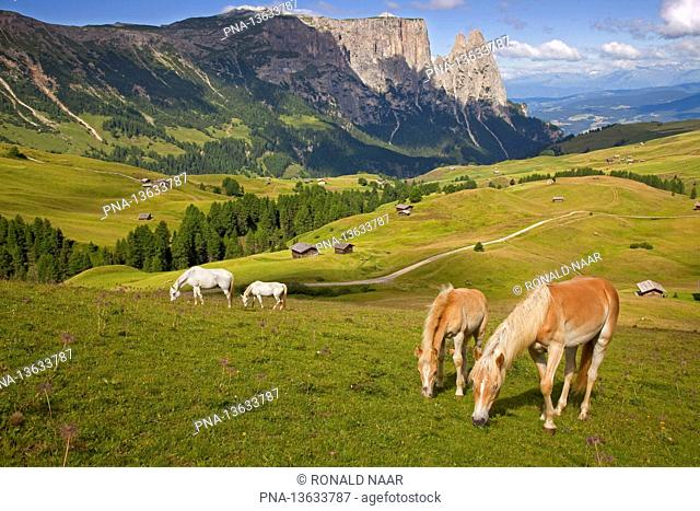 SEISER ALM - Haflinger horses on the Seiser alm Alpe di Siussi, South-Tyrol Sud-Tirol or Alto Adige, Italian Alps, Italy Mount Schlern in the background ANP...