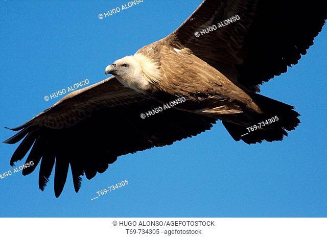 Griffon Vulture (Gyps fulvus), Spain