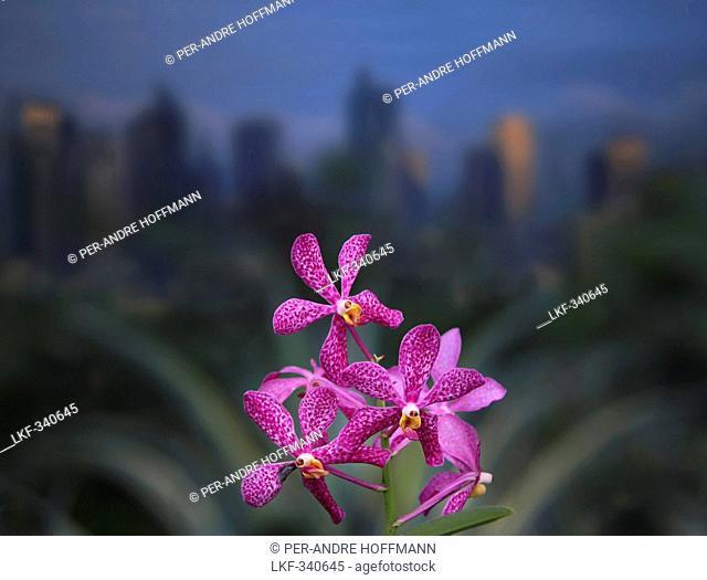 Orchids in Greenbelt Park in Makati, Manila, Makati City, Manila, Luzon Island, Philippines, Asia