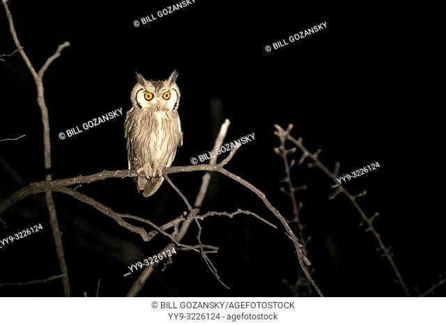 Southern white-faced owl (Ptilopsis granti) at night - Safarihoek Lodge, Etosha Heights, near Etosha National Park, Namibia, Africa