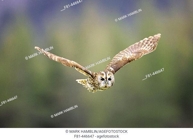 Tawny Owl (Strix aluco) adult in flight. Scotland. April