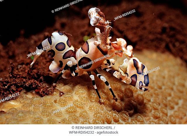 Harlequin shrimp, Hymenoceara elegans, Bali Indian Ocean, Indonesia