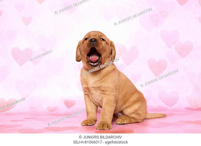Labrador Retriever. Puppy (6 weeks old) sitting while yawning. Studio picture seen against a pink background with heart print. Germany