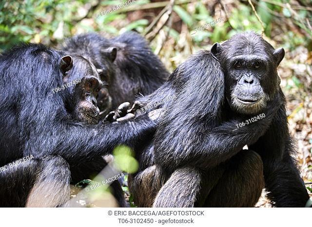 Chimpanzee (Pan troglodytes schweinfurthii) males grooming, Kibale National Park, Uganda, Africa