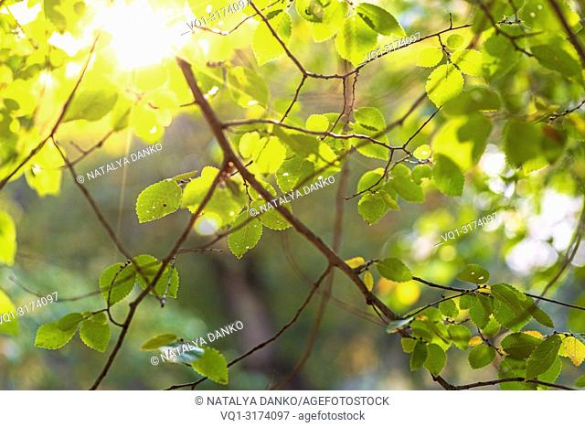 birch branches with green leaves in the sunshine on an autumn afternoon