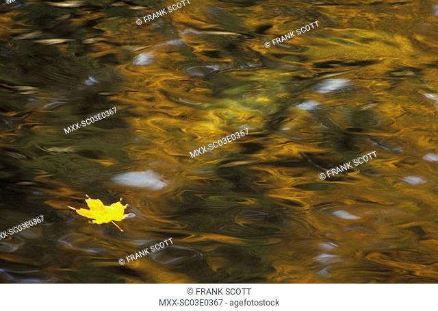 Autumn leaf on water, Gatineau Park, Quebec