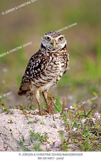 Burrowing Owl (Athene cunicularia) adult, Florida, USA